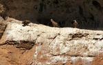 Vultures near Berlanga de Duero, Soria / ALC