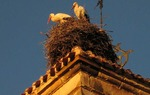 White storks, very common in the Spanish villages / ALC.